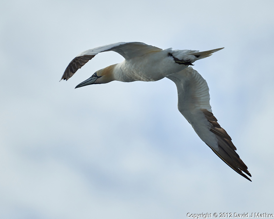 Northern Gannet (Morus bassanus). Viewed from the deck of the MV Explorer. Image taken with a Nikon D800 camera and 70-300 mm VR lens.