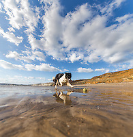 A border collie plays fetch on the beach at Compton Bay, Isle of Wight