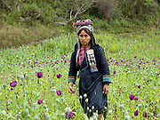 An Akha Nuquie subsistence farmer wearing her traditional clothing pauses whilst scoring illegally grown opium poppies in an upland field in remote Phongsaly province, Lao PDR.