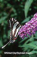 03006-00120 Zebra Swallowtail (Eurytides marcellus) on Butterfly Bush (Buddleia davidii) Marion Co.  IL