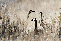 Canadian geese in tall grass, Ladder Ranch, west of Truth or Consequences, New Mexico, USA.