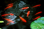 Goldfish pond. (Mike Siegel / The Seattle Times)