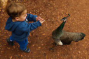 Toddler with a peacock at a petting corner in a children's zoo