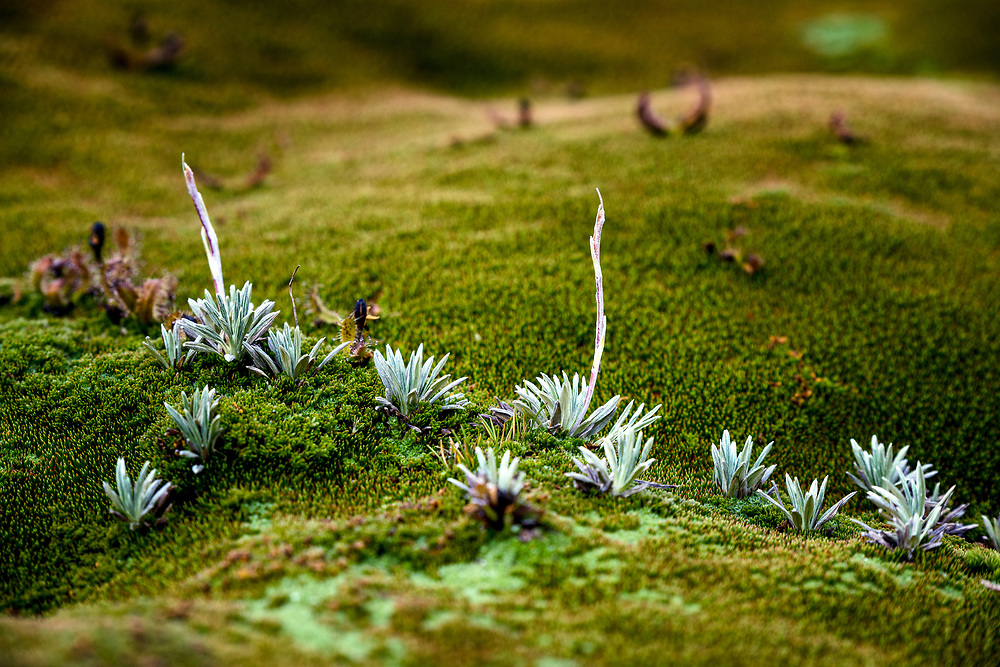 Close up of tasmanian cushion plant in Cradle Mountain–Lake St Clair National Park
