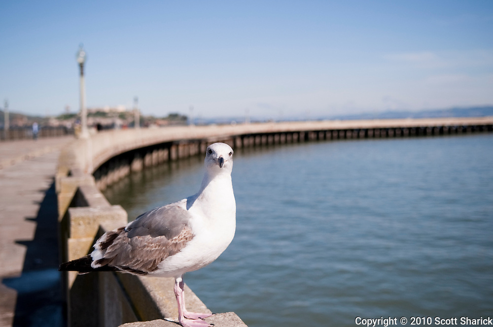 A seagull sits on the edge of the pier in San Francisco Bay.