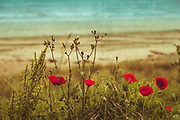 Poppy flowers in a dune - textured photograph