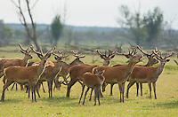 Red deer (Cervus elaphus) stags in velvet. Oostvaardersplassen, Netherlands. Mission: Oostervaardersplassen, Netherland, June 2009.
