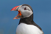 An Atlantic Puffin (Fratercula arctica) cries out from its perch on a grassy bluff in Látrabjarg, Iceland. Atlantic Puffins are known for their colorful bills, which are especially colorful during the breeding season. About 60 percent of all Atlantic Puffins nest in Iceland.