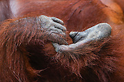 Siswi, a habituated dominant female orangutan (Pongo pygmaeus) poses in one her typical positions while laying on the ground at Camp Leakey,  Tanjung Puting National Park, Central Kalimantan, Borneo, Indonesia