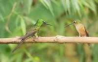 Male empress brilliant hummingbird, Heliodoxa imperatrix (left), and fawn-breasted brilliant, Heliodoxa rubinoides, perched on a branch at Refugio Paz de las Aves, Ecuador