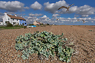 By The Sea - Shingle Street Suffolk - photo art of the wild shinle beach and its wild sea plants by Paul Williams. 2007