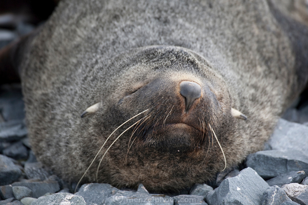 Fur seal on Half Moon Island, home to over 3000 pairs of chinstrap penguins, many with chicks at this time of year, late in the Antarctic summer.