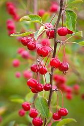 Malus hupehensis berries