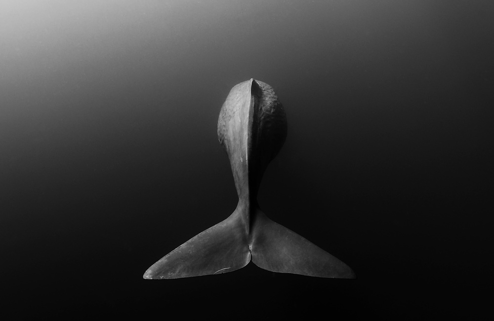 A sperm whale (Physeter macrocephalus) descends into the inky depths off Sri Lanka, her tail waving goodbye.