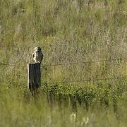 Short-eared Owl (Asio flammeus) in Montana.