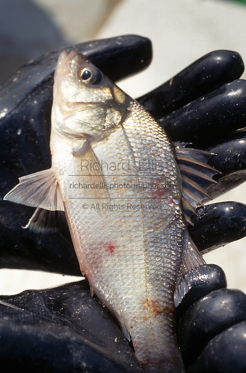 SHELLTOWN, MD, USA - 1997/09/25: A marine biologist holds a Menhaden fish with open sores from the flesh eating Pfiesteria disease outbreak in the Pocomoke River along the Chesapeake Bay September 25, 1997 in Shelltown, Maryland. The outbreak caused a loss of $43 million dollars in fishing revenue and is believed to be caused by the runoff of chicken manure from farms in the area. (Photo by Richard Ellis)
