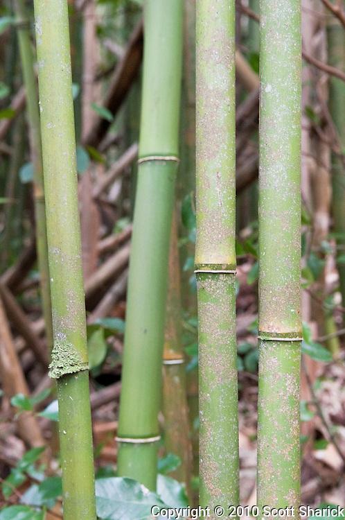 Bamboo along the Manoa Cliff Trail.