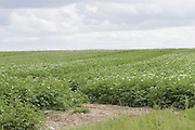 Irish Farm Crops, potatoes, spuds, potato blossom,