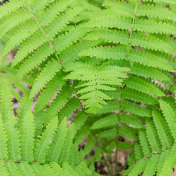 Ferns in a hardwood forest in Epping, New Hampshire.