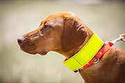 SHOT 5/9/20 1:11:27 PM - Various pointing breeds compete in the Vizsla Club of Colorado Licensed Hunt Test Premium at the Rocky Mountain Sporting Dog Club Grounds in Keenesburg, Co. (Photo by Marc Piscotty / © 2020)