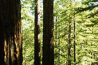 Redwoods on Pine Ridge Trail, Big Sur, California.