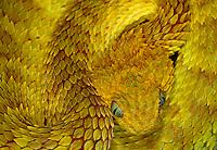 Variable Bush Viper - Atheris squamigera