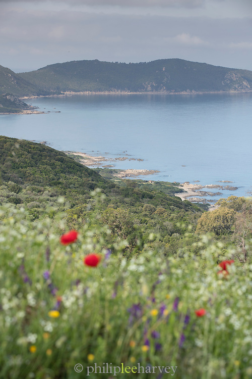 View of sea and wildflowers on meadow, Beach of Porticcio, Gulf of Ajaccio, Corsica, France