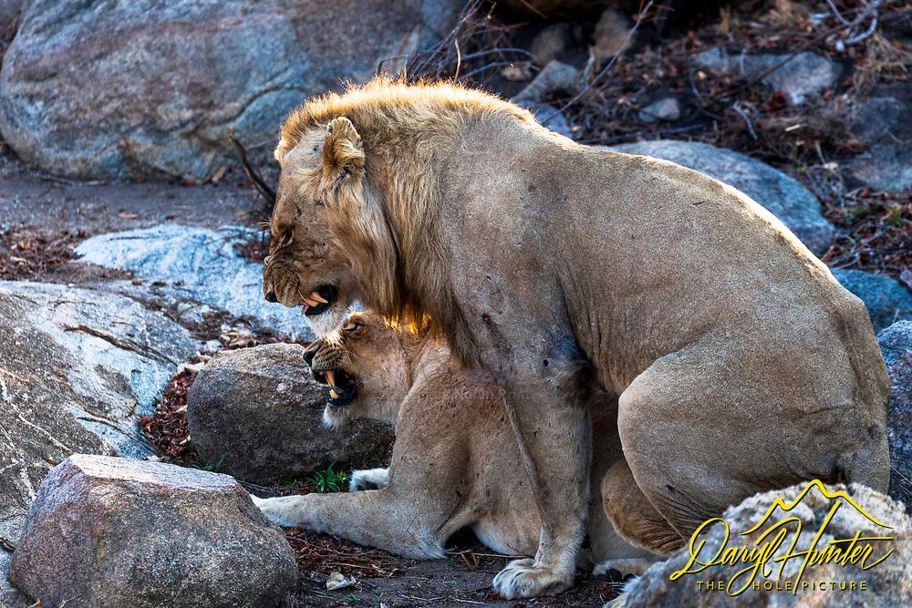 Breeding Lions, Kruger National Park, South Africa