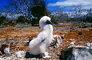 Blue-footed Booby juvenile bird on Galapagos Islands, Ecuador