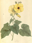 Bamia crinita From Plantae Asiaticae rariores, or, Descriptions and figures of a select number of unpublished East Indian plants Volume 1 by N. Wallich. Nathaniel Wolff Wallich FRS FRSE (28 January 1786 – 28 April 1854) was a surgeon and botanist of Danish origin who worked in India, initially in the Danish settlement near Calcutta and later for the Danish East India Company and the British East India Company. He was involved in the early development of the Calcutta Botanical Garden, describing many new plant species and developing a large herbarium collection which was distributed to collections in Europe. Several of the plants that he collected were named after him. Published in London in 1830