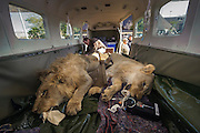 Lion darted for relocation to Malawi (Panthera leo)<br /> Intubated anaesthetized lion in airplane for transportation<br /> Pilansberg Game Reserve<br /> North West Province<br /> SOUTH AFRICA