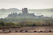 Red devon cattle cross the heath near Corfe Castle, Dorset, UK