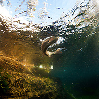 ©Ryan Brennecke 2015<br /> <br /> A rainbow trout battles near the surface after being hooked on a size 16 pheasant tail.