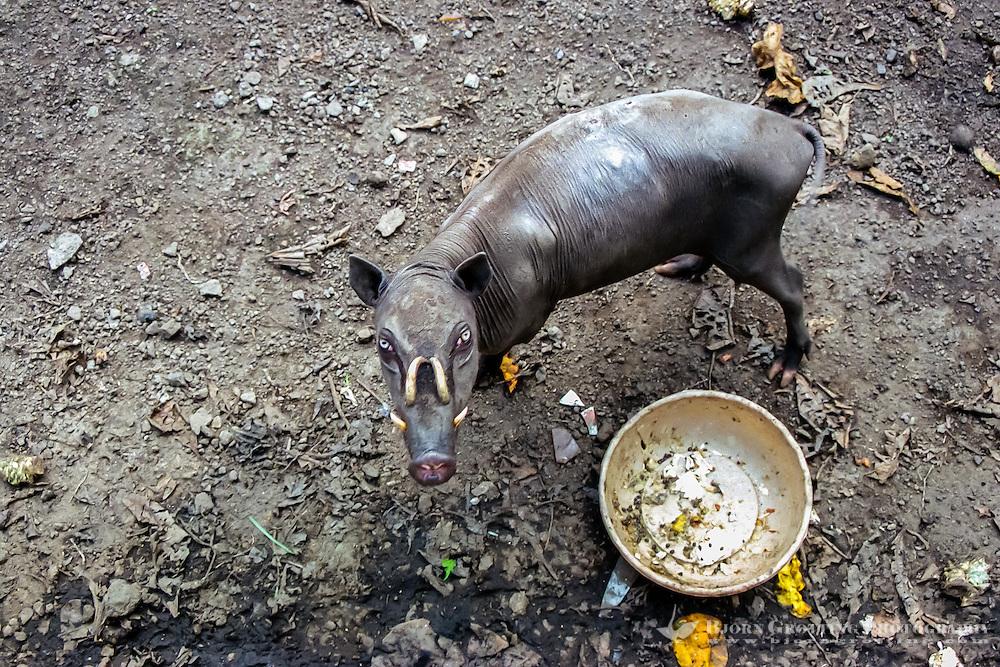 North Sulawesi, Bitung. Babirusa, local wild pig with teeth curved backwards. Zoo in Bitung.