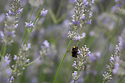A White-tailed bumblebee (Bombus lucorum) visits a lavender plant in a suburban garden south London, on 7th August 2019, in London, England.