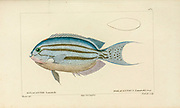 Holacanthus from Histoire naturelle des poissons (Natural History of Fish) is a 22-volume treatment of ichthyology published in 1828-1849 by the French savant Georges Cuvier (1769-1832) and his student and successor Achille Valenciennes (1794-1865).