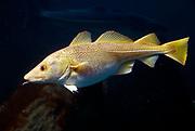 Atlantic Cod, Gadus morhua.