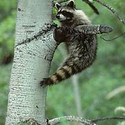 Raccoon, (Procyon lotor) Hanging on tree branch. Summer. Captive Animal.