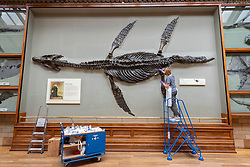 © Licensed to London News Pictures. 27/07/2020. London, UK. A Natural History Museum staff member cleans a copy of a 187 -178 million years old Pilosaur. The museum re-opens to the public on August 5th after closing due to the Covid-19 pandemic. Photo embargoed for usage until 00:01 28/07/2020. Photo credit: Ray Tang/LNP