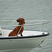 We were at the docks in Stone Creek, CT when a boat came by with this dachshund looking out from the bow