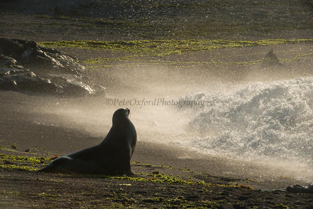 Galapagos Sealion (Zalophus wollebaeki)<br /> Fernandina Island<br /> GALAPAGOS ISLANDS<br /> ECUADOR.  South America