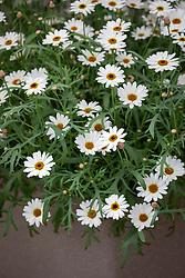 Argyranthemum 'Grandaisy Ivory Halo'