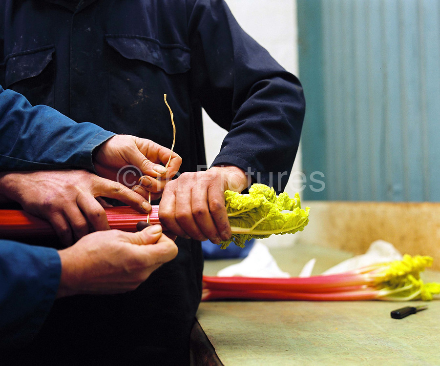 """""""Best Six Sticks"""" - tying up with raffia.  David Brook and John Smiles preparing rhubarb for the 82nd Annual Rhubarb Show, Caldergrove, Wakefield. February is high season for the forced rhubarb of the so-called 'Rhubarb Triangle' formed by Wakefield, Rothwell and Morley. These intensely flavoured plants with pink stems and yellow leaves - grown by candlelight and tended by hand in huge, heated forcing sheds - are one of the first culinary delights of the British winter."""