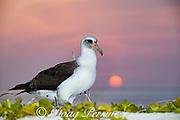 Laysan albatross, Phoebastria immutabilis, at sunset, Sand Island, Midway Atoll, Midway National Wildlife Refuge, Papahanaumokuakea Marine National Monument, Northwest Hawaiian Islands, USA ( North Pacific Ocean )