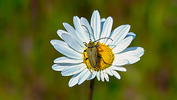 A Yellow bug (beetle of some type maybe?) site conformable in the center of a wild daisy