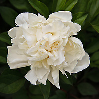 """""""Peony in White""""<br /> <br /> Single white peony nestled in green foliage!!<br /> <br /> Flowers by Rachel Cohen"""