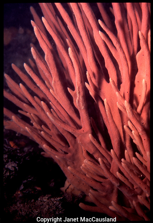 This outstanding orange Northern Finger Sponge once could be seen on the wall at Fort Wetherill, Rhode Island. They ae a long lived animal, but because the protrude into the water column, they are in a precarious position and can be easily broken.