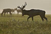 a Male Père David's deer, or Milu, Elaphurus davidianus, waling in the morning in Hubei Tian'ezhou Milu National Nature Reserve, Shishou, Hubei, China