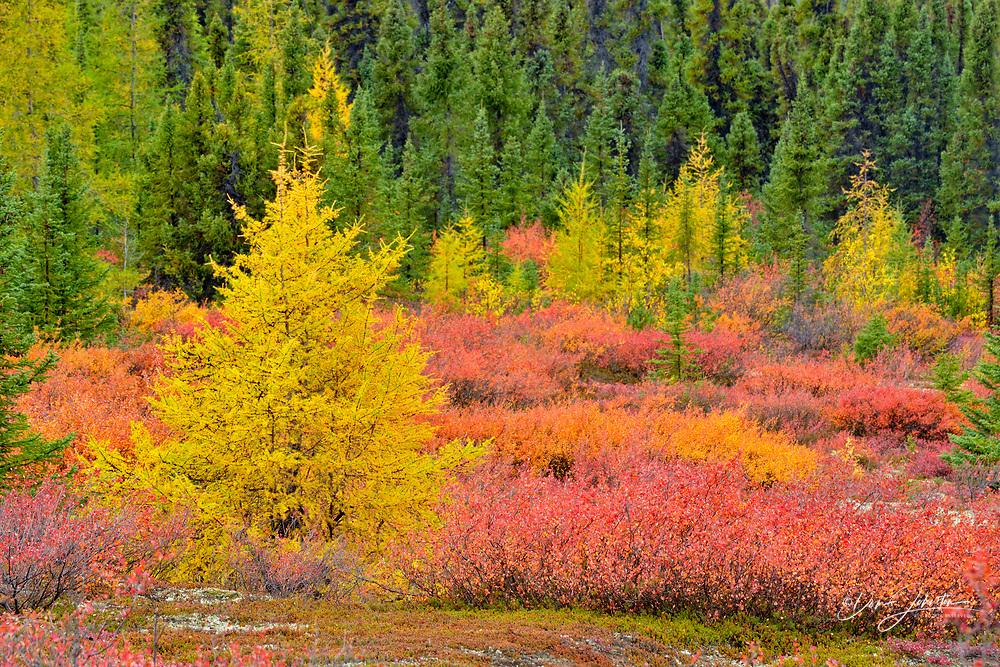 Barrenground vegetation in autumn near Ennadai Lake- black spruce, larch, blueberry and dwarf birch, Arctic Haven Lodge, Ennadai Lake, Nunavut, Canada