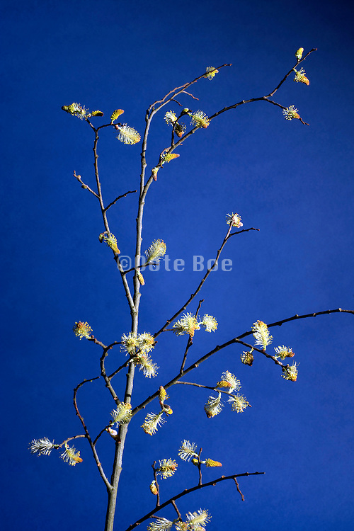 sprouting willow tree twig